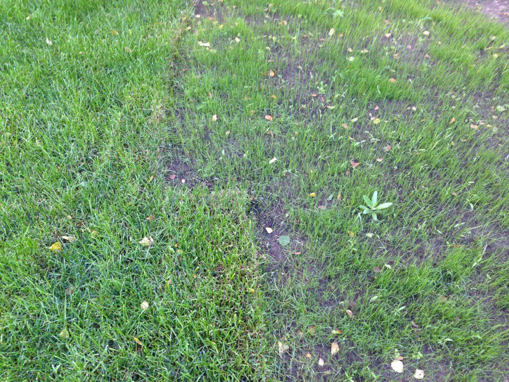 Пример посевного и рулонного газон